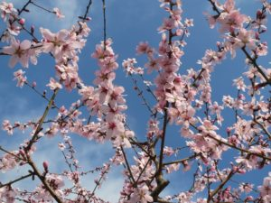 Almond tree. Provides almonds for almond oil